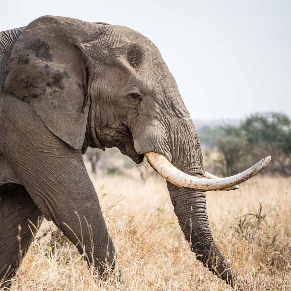 Elephant - Afrique du Sud - Park Kruger