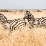 Zèbres Park Kruger