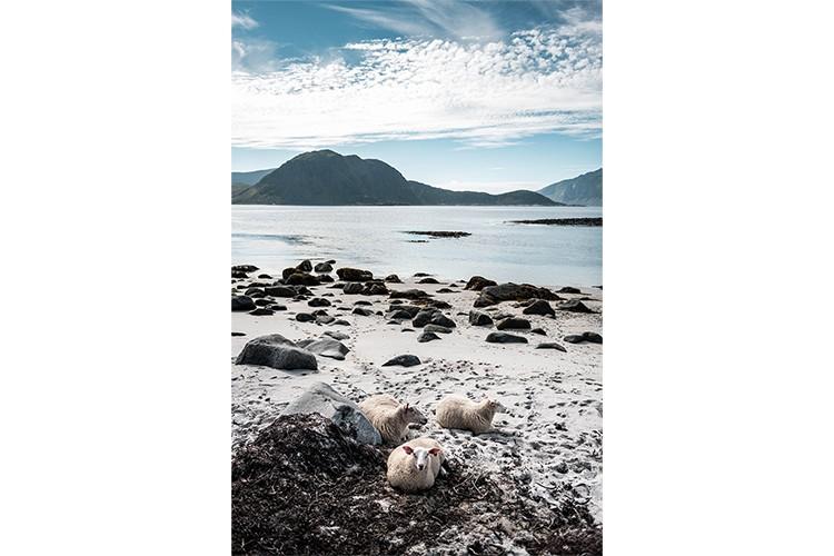 Moutons sur une plage au délà du cercle polaire dans les Îles Lofoten, Norvège. Format portrait.