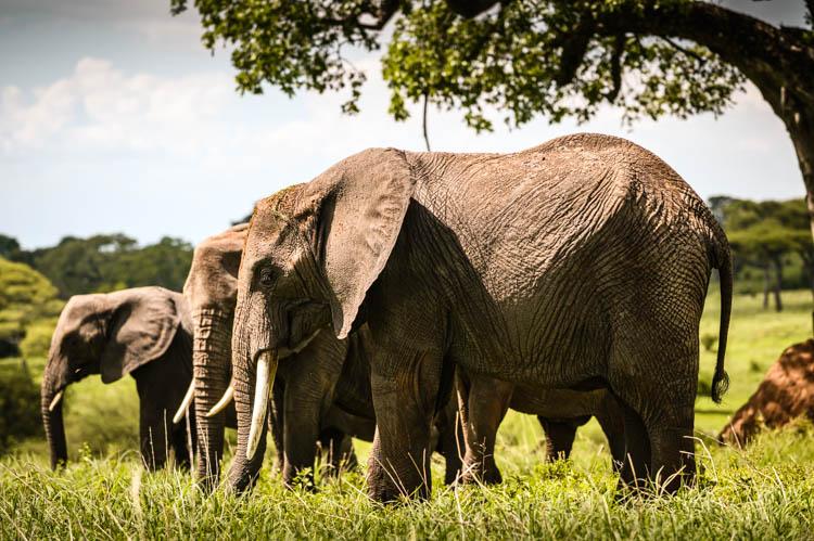 Famille d'éléphants en train de se nourrir dans le parc du Tarangire, Tanzanie. Format paysage.