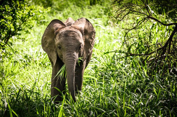 Éléphanteau en train de se nourrir dans le parc du Tarangire, Tanzanie. Format paysage.