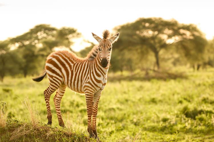 Un petit zèbre effectue ses premiers pas dans le parc de Tarangire, Tanzanie. Format paysage.