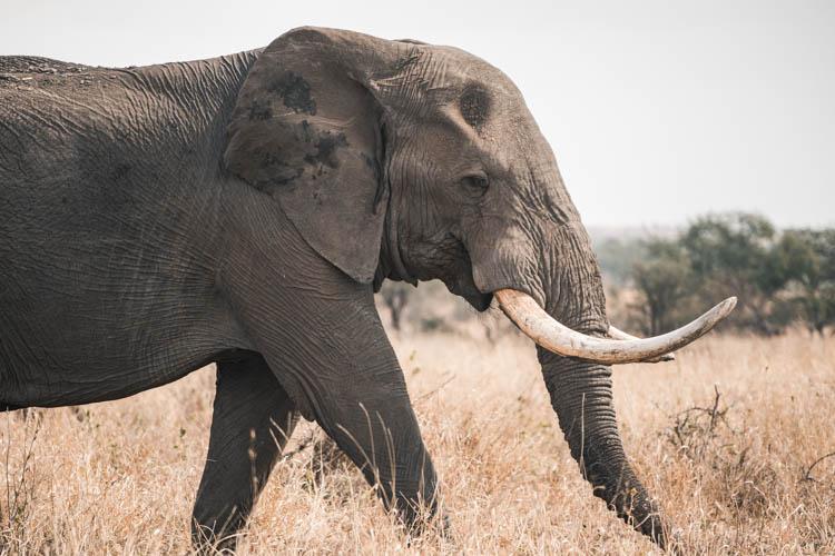 Eléphant marchant dans le Park Kruger, Afrique du Sud. Format paysage.