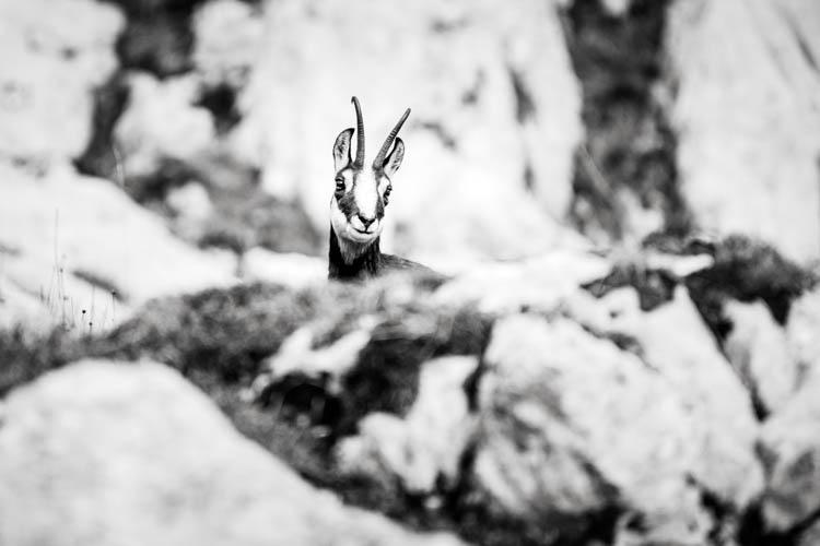 Chamois curieux dans le massif des Aravis, France. Format paysage.