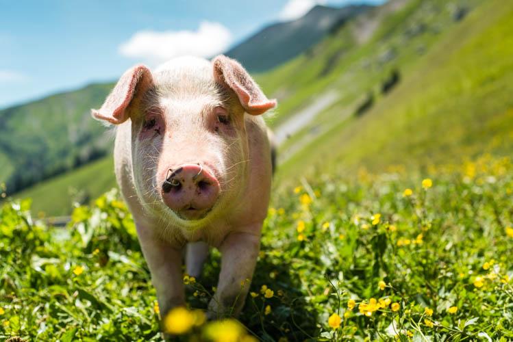 Cochon en promenade dans une ferme des Bauges, France. Format paysage.