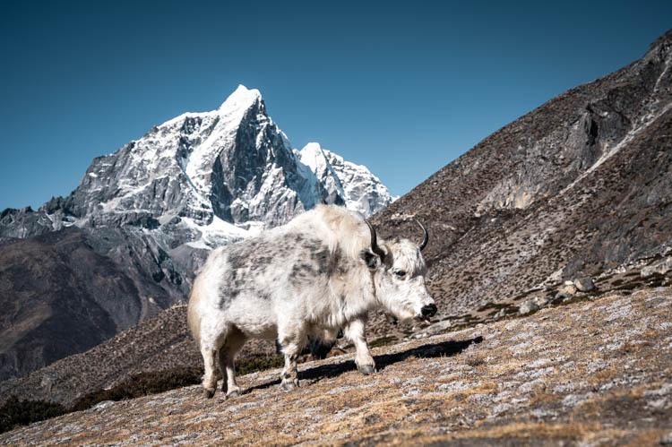 Yak posant devant un sommet himalayen, Népal. Format carré.