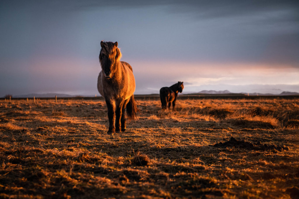 chevaux sauvages islandais
