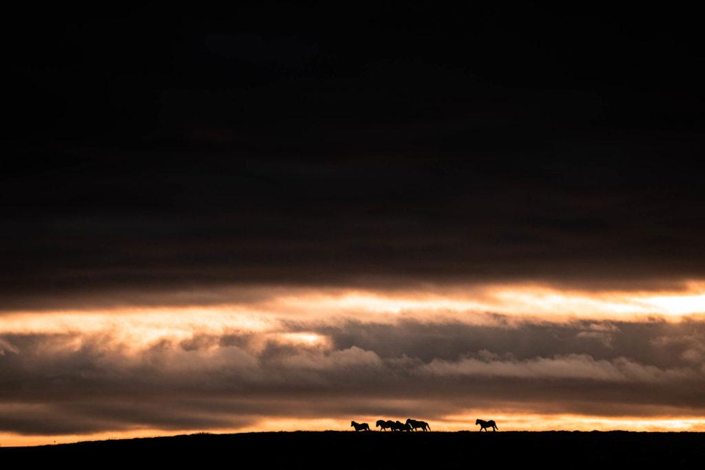 Groupe de chevaux islandais galopant sur une crête au lever du jour, Islande. format paysage.